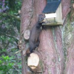 Pine Marten at Ardbrecknish